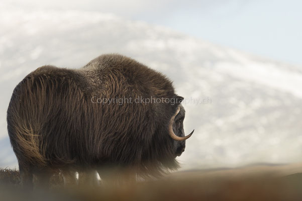 Moschusochse 11 (Ovibus moschatus), aufgenommen in Norwegen Bild-Nummer: 207