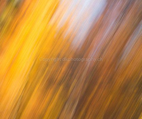 Gold der Bäume, aufgenommen im Naturpark Ermitage (CH). Bild-Nummer: 306