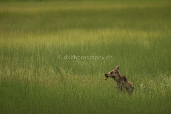 Jungelch im Abendlicht 2 (Juvenile Moose, Alces alces, Alaska) Bild-Nummer: 86