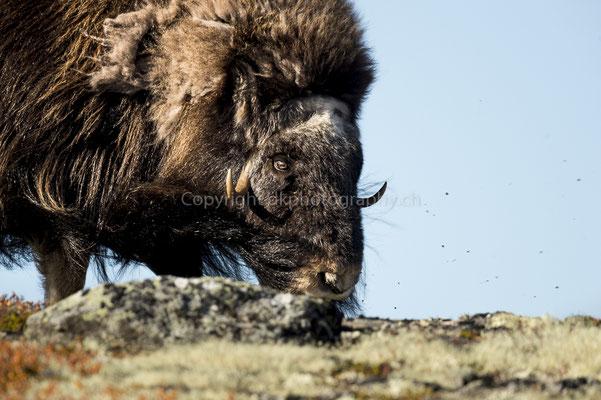 Moschusochse 3 (Ovibus moschatus), aufgenommen in Norwegen Bild-Nummer: 200