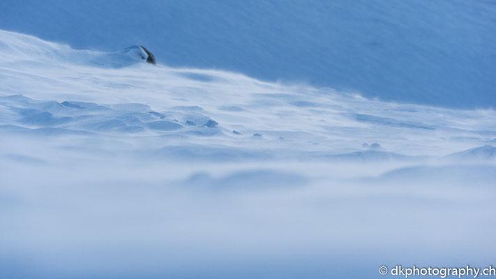 Schneeverwirbelung, Dovrefjell Norwegen.