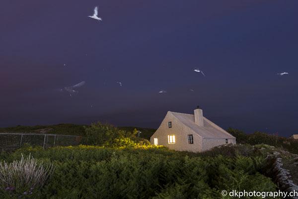Atlantiksturmtaucher und Sturmschwalben bei Ihrer nächtlichen Rückkehr, aufgenommen in Wales. Bild-Nummer: 330