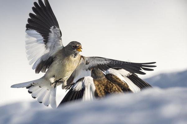 Schneesperlinge im Zweikampf (Montifringilla nivalis), aufgenommen im Wallis (CH). Bild-Nummer: 170