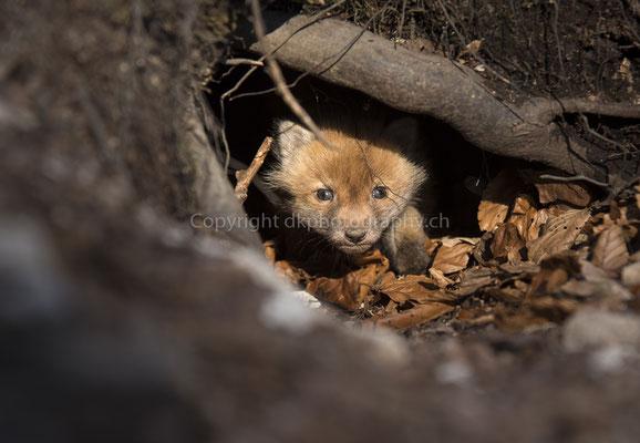 Jungfuchs (Vulpes vulpes), aufgenommen im Kanton Baselland (CH). Bild-Nummer: 238
