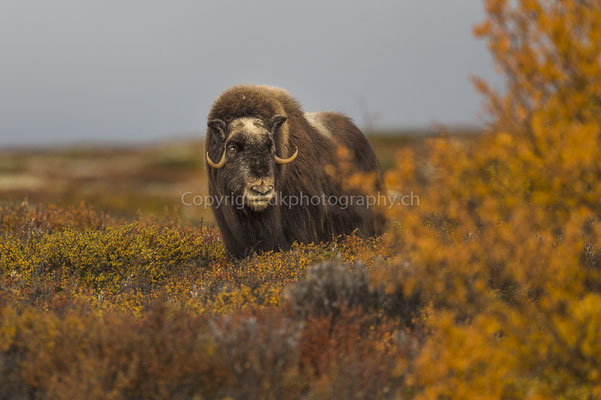 Moschusochse 8 (Ovibus moschatus), aufgenommen in Norwegen Bild-Nummer: 205