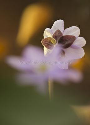 Leberblume 3 (Anemona hepatica), aufgenommen bei Biel (CH). Bild-Nummer: 149