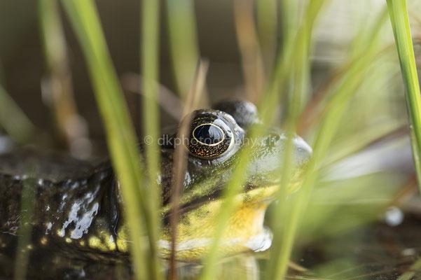 Frosch (Frog, Canada) Bild-Nummer: 113