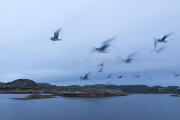 Möwen im Vorbeiflug, aufgenommen in Norwegen.