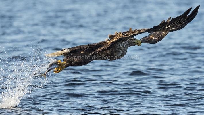 Seeadler 15 (Haliaeetus albicilla), aufgenommen in Norwegen Bild-Nummer: 186