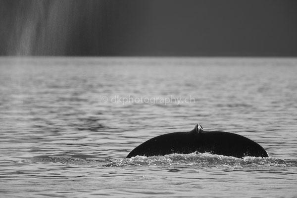 Buckelwal (Humpback whale, Alaska) Bild-Nummer: 102