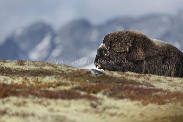 Moschusochse 1 (Ovibus moschatus), aufgenommen in Norwegen Bild-Nummer: 195