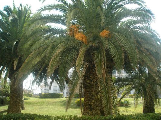 Palmiers de la résidence