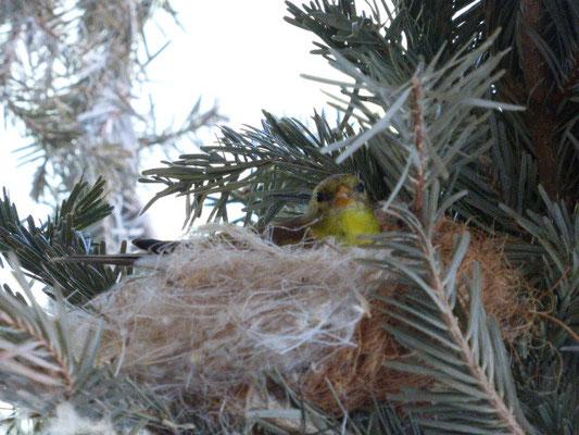 0,1 Trauerzeisig im Nest