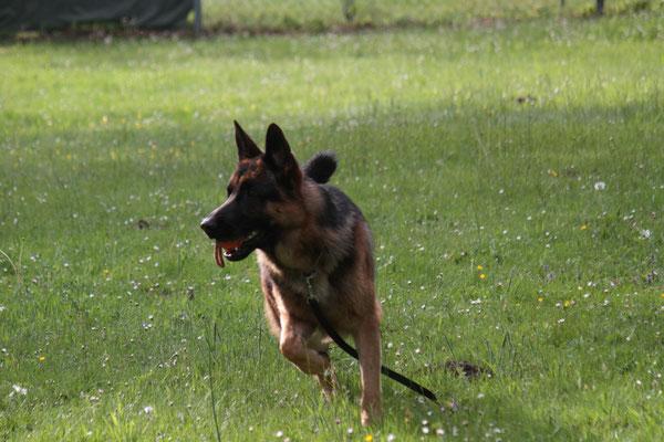 Verein für Deutsche Schäferhunde (SV) - OG Rösrath