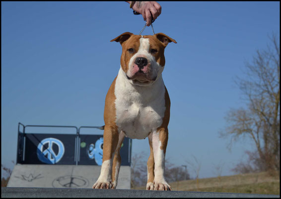 MULTI CH KARBALLIDO STAFFS BLOW YOUR MIND étalon American staffordshire terrier disponible pour saillie