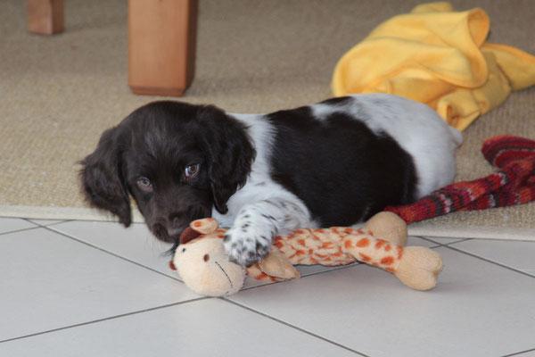Tara vom Kiefernwalde gen. Nora * 11/2012