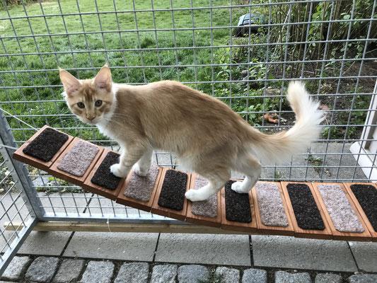 Maine Coon Kater auf Hängebrücke im Katzengehege