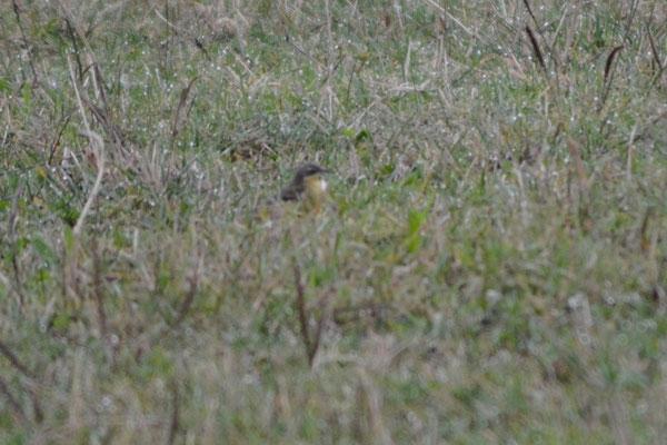 Männchen adult, Benken, 18.09.2015. Vogel mit sehr dunklen Ohrdecken, gelber Kehle und einem deutlichen Überaugenstreif, der auf auf den Bereich hinter dem Auge konzentriert ist.