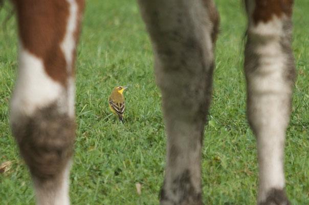 Männchen adult, Rodersdorf, 21. 09.2014. Die Kehle ist rein gelb und hat keine weissen Ränder.