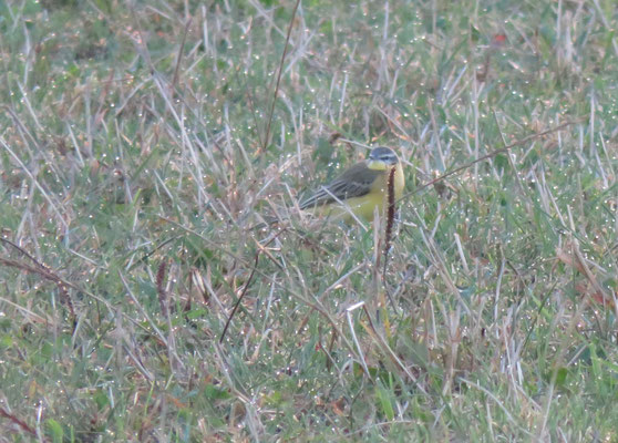 Männchen adult, Benken, 14.09.2015. Typischer Vogel mit einem deutlichen, weissen Überaugenstreif.