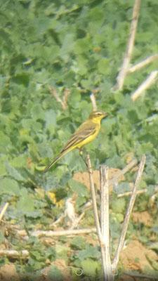 Hégenheim, 16.09.2018: Vogel mit auffallend breitem und gelben Überaugenstreif.
