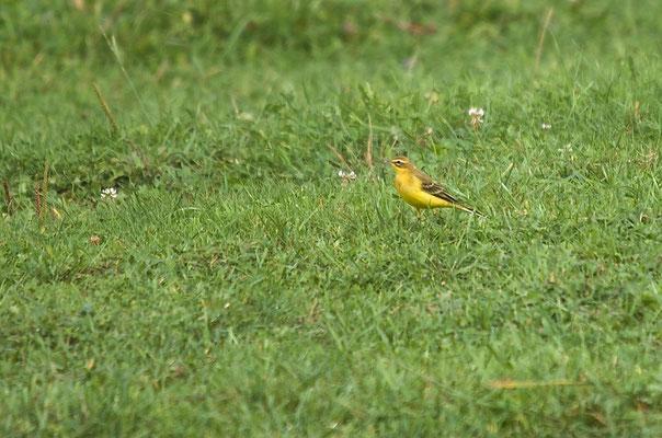 Männchen adult, Rodersdorf, 21. 09.2014. Auffallend ist der deutliche, gelbe Überaugenstreif und der gelb-grüne Gesamteindruck.