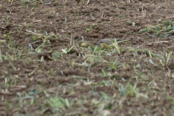Männchen, Rodersdorf, 22.09.2015. Vogel mit dunklen Ohrdecken, weisser Kehle und einem keilartigen, auf den Bereich hinter dem Auge beschränkten Überaugenstreif.