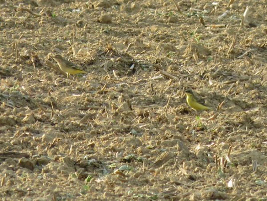 Männchen adult (rechts im Bild), Bättwil, 04. 09.2015. Vogel ohne Überaugenstreif und damit ähnlich wie typische thunbergi im Frühling. Die grauen Kopfbereiche werden jedoch durch grünliche Federränder teilweise verdeckt.