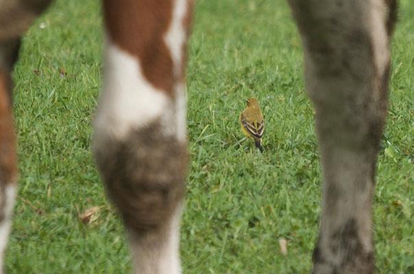 Männchen adult, Rodersdorf, 21. 09.2014. Nacken und Oberkopf sind grünlich-braun und weisen keinen Kontrast zum Mantel auf, graue Federn sind keine zu sehen.