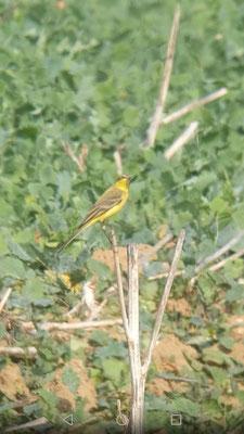 Derselbe Vogel nochmals. Auch die Kehle ist ganz gelb.