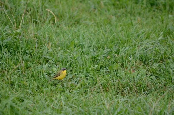 Männchen adult, Rodersdorf, 01. 09.2015. Vogel mit einem Überaugenstreif. Dieser ist jedoch sehr fein, und über dem Auge unterbrochen. Aus der Distanz ist er dadurch nur schwer zu sehen.