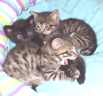Wurf Katzenwelpen