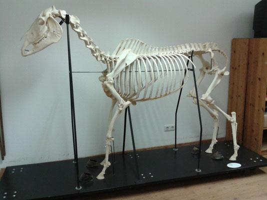 Esqueleton de un caballo en la escuela para osteopatía equina