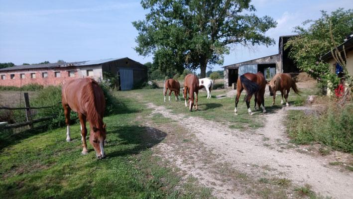 """Ab und zu """"müssen"""" die Pferde den Hofplatz sauber fressen."""