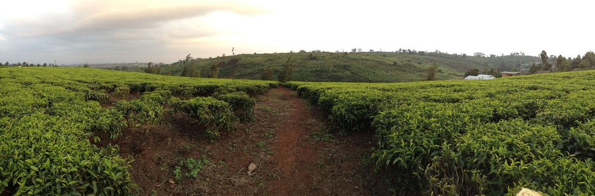 Kenianischer Tee gehört zu den weltbesten Sorten