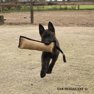 pup Duro speelt met een bijtrol