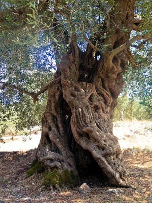 olivier de 800ans