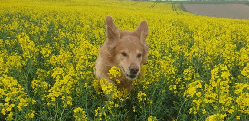 Alwin vom Wackerhof sendet Frühlingsgrüße aus dem Hochwald bzw. Rapsfeld