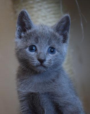 Кошечка Серебряная