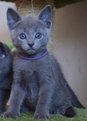 Котик Нежно-фиолетовый