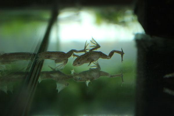 ホワイトヒメツメガエル