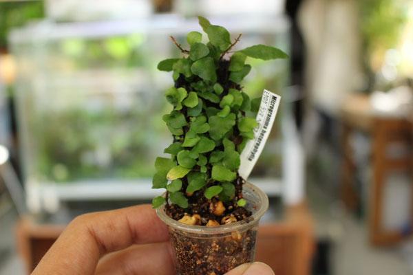 ミクログランマ ヘテロフィラ
