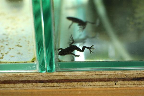 ヒメツメガエル
