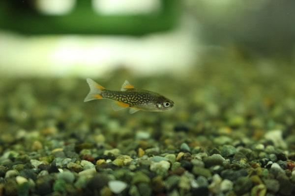 ミクロラスボラsp.ハナビ
