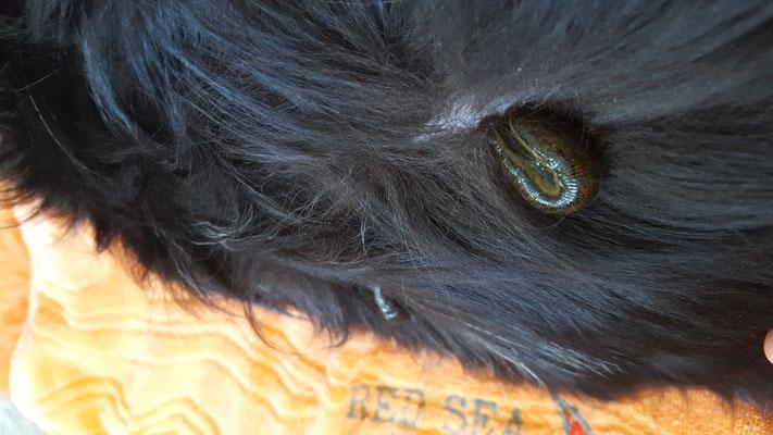 Blutegel beim Hund; hinterer Lendenwirbelbereich