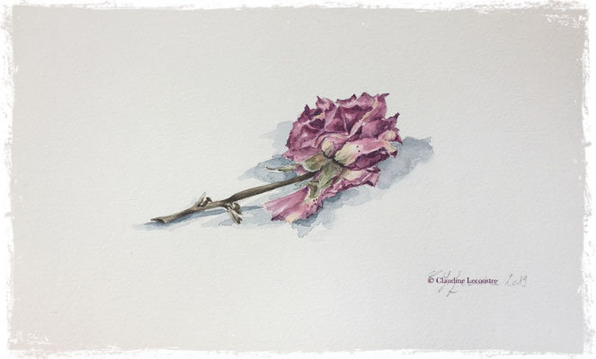 Rose fanée, aquarelle / watercolor