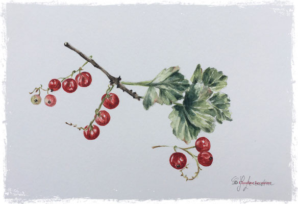 Groseilles, aquarelle / watercolor