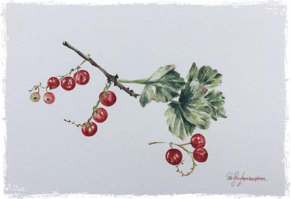 Groseilles, aquarelle / watercolor