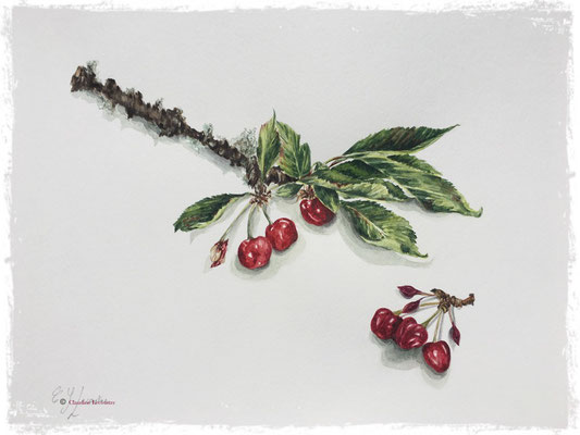 Cerises, aquarelle / watercolor