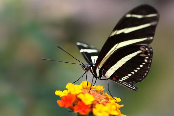 Zebra Schmetterling